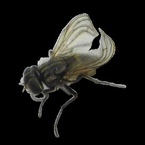 Krølvingede fluer